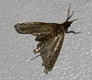 Ask-julie-how-get-rid-pantry-moths-larvae-1