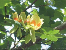 Liriodendron_tulipifera_flw