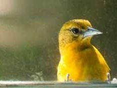 Yellow-bird-window