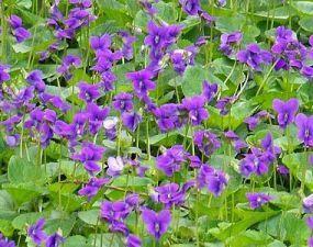Wood-violets