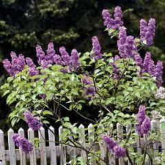 0408-lilacs