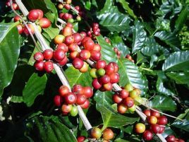 Coffee_plant_red_berries_3