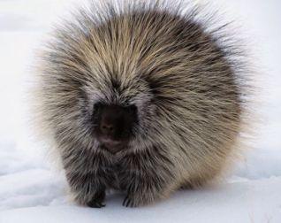 North-american-porcupine-in-snow