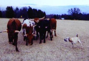 _ringo_herding