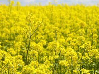 Yellow_flowers_in_a_field_czech_republic_gwj41365966