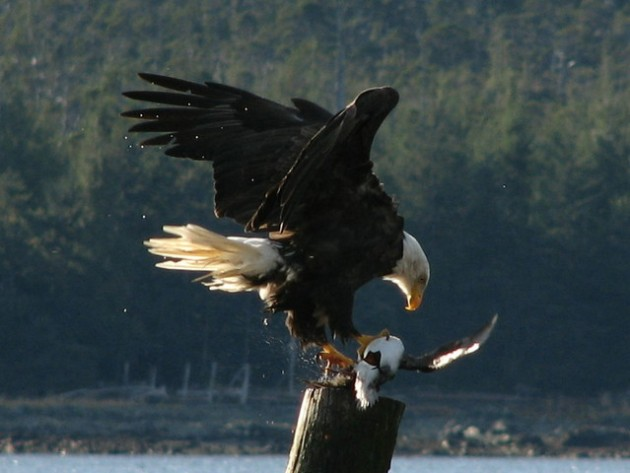 eagles eating seagulls