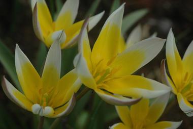 Tulipa_tarda_1