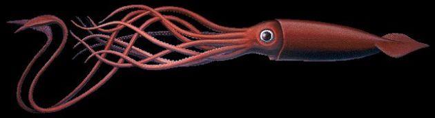 i am a squid jpg