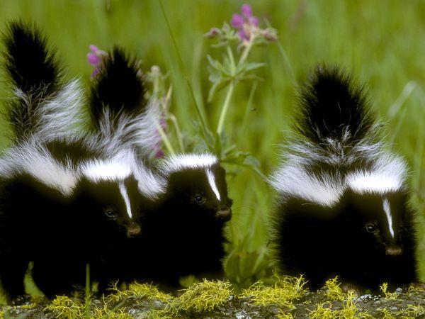 skunk hour