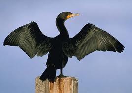 cormorant and mayflower