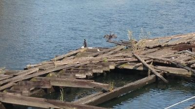 cormorant flying